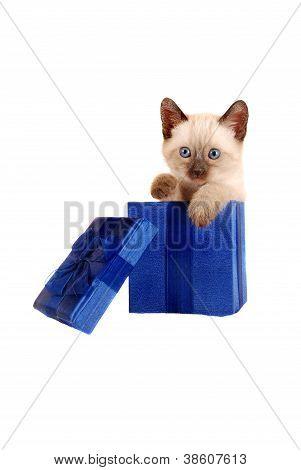 Siamese Kitten In A Gift Box
