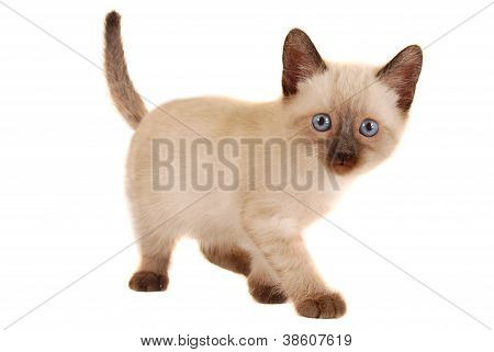 Cute Siamese Kitten On White