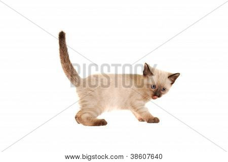 Siamese Kitten With Tongue Out On White