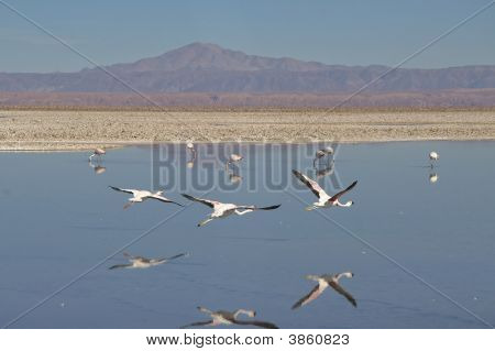 Flamingo\'S In Chile