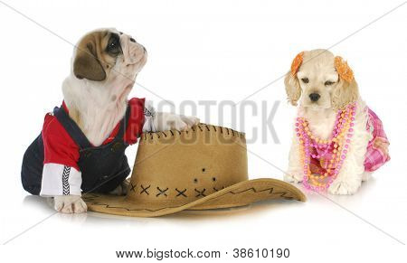 cute couple - english bulldog and cocker spaniel dressed up like a couple on white background