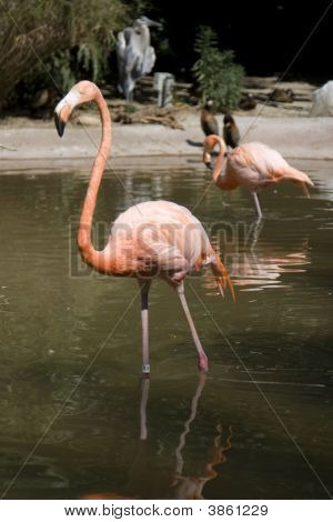Pair Of Flamingoes