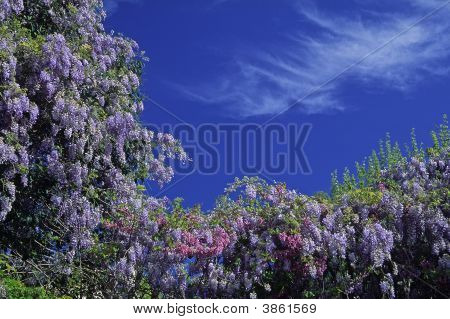 Wisteria, Bush In Spring, Cote D'Azur, France