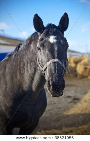 Beautiful Trakehner horse