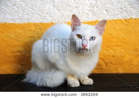 White Multi Coloured Eye Cat