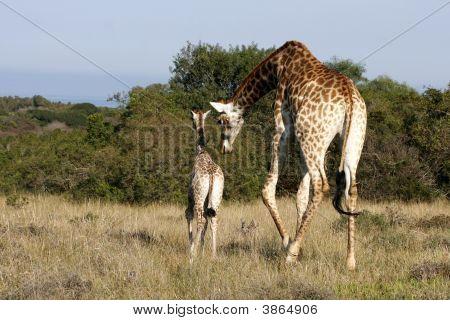 Giraffe Mother And Child