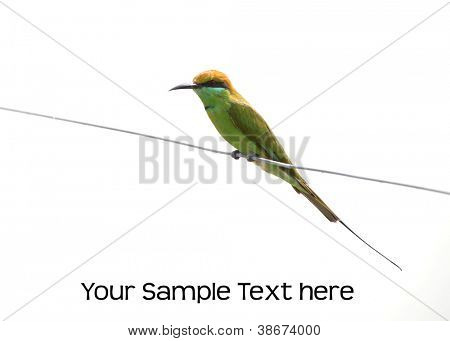 Small green bee eater against white background