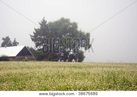 Buckwheat Field In Farm And Morning Mist