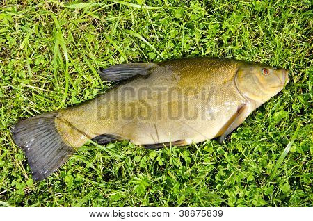 Big Tench After Summer Fishing On Grass