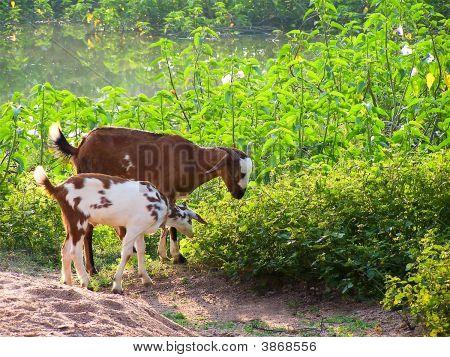 Goat On Grass