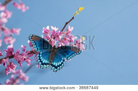Eastern Redbud tree blooming, with a Red Spotted Purple Admiral butterfly in morning sunlight against blue sky