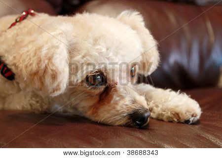 A sweet female Poddle Bichon Frise mix breed dog lays on a brown leather couch on lazy morning watching cats and birds as they move around in her back yard