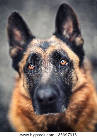 portrait of adult german sheppard selective focus image