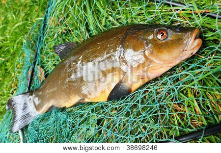 Fish on fishing net. The tench or doctor fish (Tinca tinca). In Central Europe ( Poland and Czech Republic ), fish is a traditional part of a Christmas Eve dinner.
