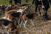 pic of foxhound  - foxhounds waiting for eating the roe deer - JPG