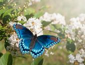 stock photo of cluster  - Red Spotted Purple Admiral butterfly feeding on white Crape myrtle flower cluster - JPG