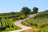 Winding Road In The Vineyards Of Alsace