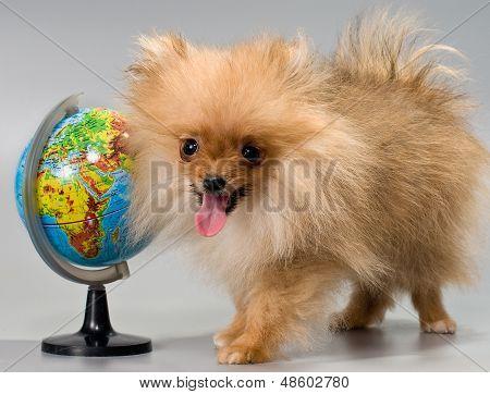 Pomeranian With A School Globe