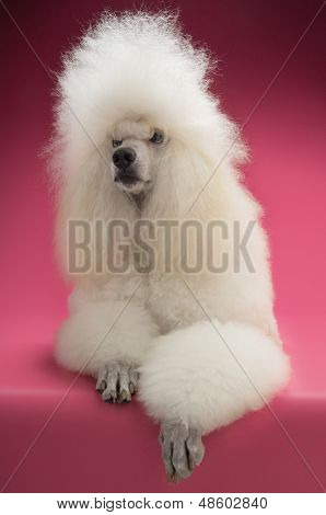 Full length of Standard Poodle on pink background