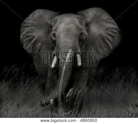 Bull Elephant In Shadow