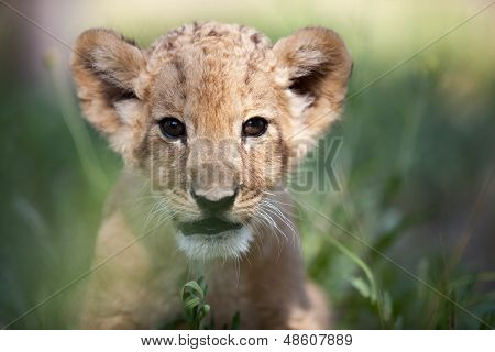 Little Lion Cub Looking In The Camera