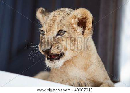 Little Lion Cub Showing His Teeth