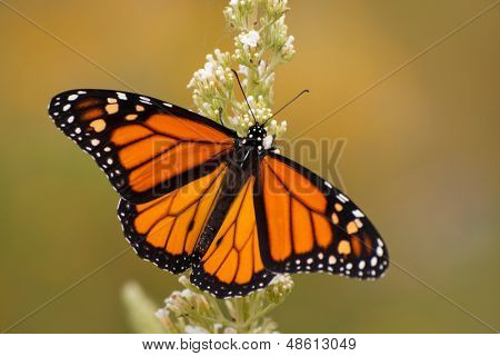 Male Monarch butterfly in summer garden feeding on a Buddleia flower