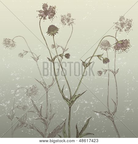 Devil's-bit botanical drawing