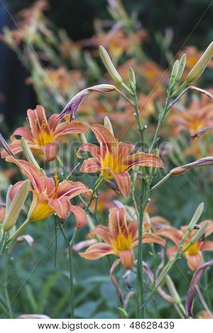 Bright Orange Lillies In Summer