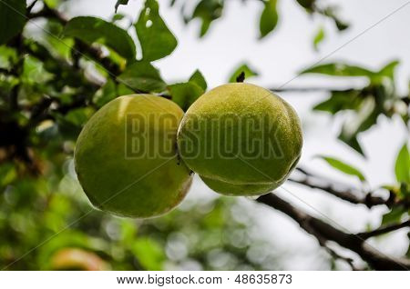 Pair of almonds on tree