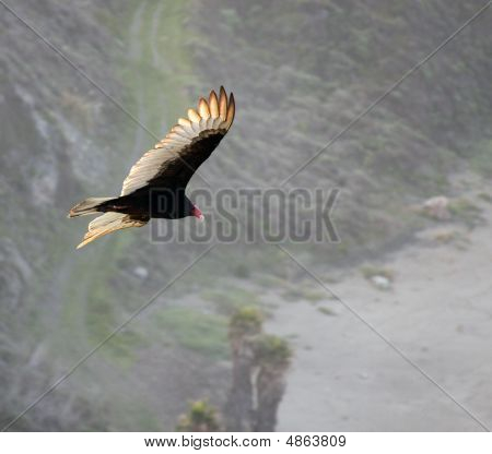 Turkey Vulture,