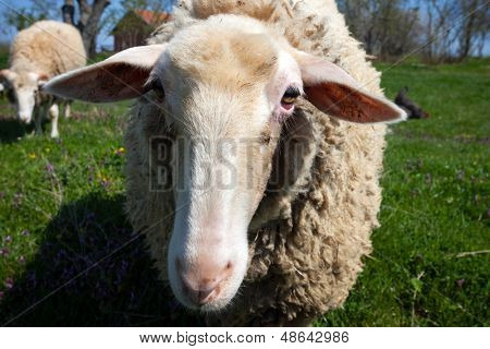 Funny picture of a curious lamb in spring.