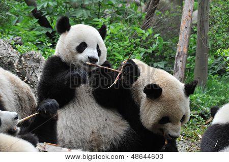 Giant panda bear eating bamboo with other pandas
