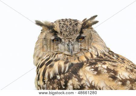 sleepy owl isolated over white