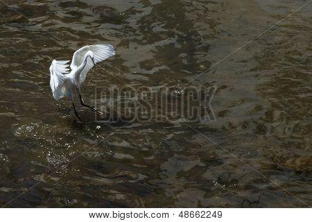 Snowy Egret Hunting Dance