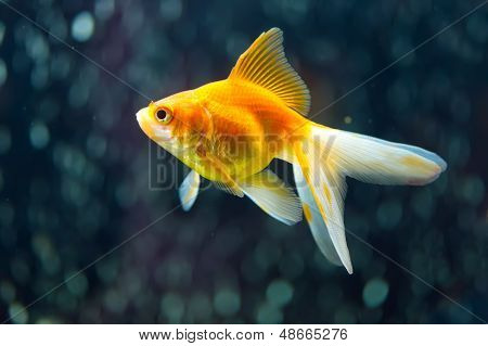 Achtern Goldfisch