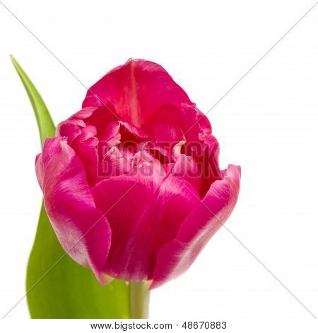 Spring Pink Tulip Isolated On White