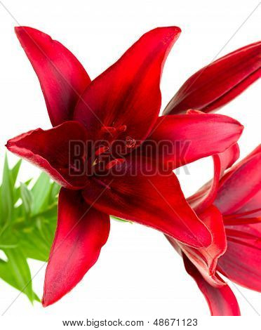 Lilium Black Out Isolated On White