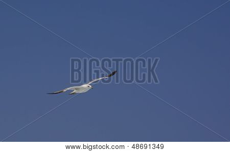 Seagull on blue sky Laridae