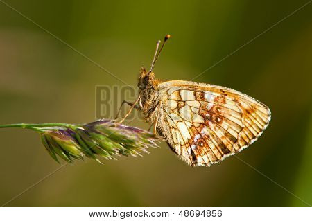 Butterfly Brenthis Ino