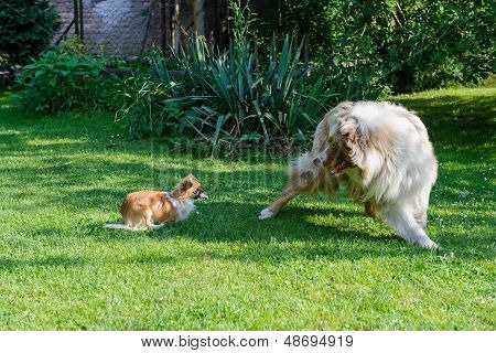 Australian Shepherd Photo Set