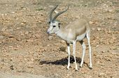 Gazelle Beautiful