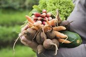 pic of root-crops  - Closeup of woman with freshly harvested vegetables at garden - JPG