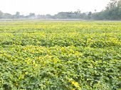 picture of soybeans  - Cultivated seedling soybean field in the farmland - JPG
