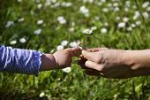 picture of little young child children girl toddler  - Female hands giving daisies to a small childs hand reaching for it - JPG
