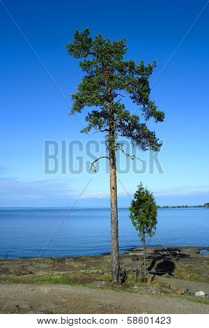 Valaam Island, Pine Trees On The Shore
