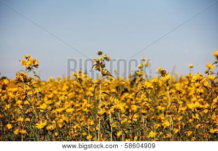 Field Of Bur-marigolds