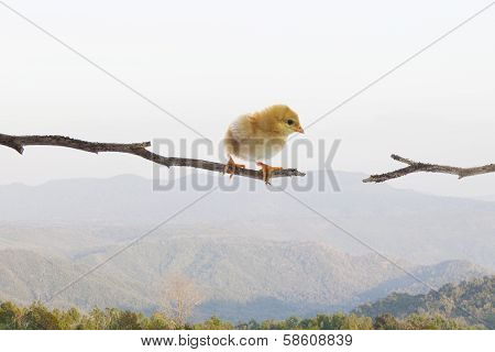 New Born Chick Standing On Dry Tree Branch And Try To Jumping To Another Side Against Mid Air And Hi