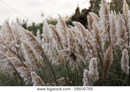 Cortaderia selloana or Pampas grass blowing in the wind