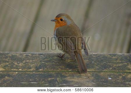 European Robin - Erithacus Rubecula